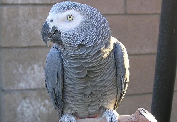 Mit mond az a papagáj, ami egy gyilkosság szemtanúja lehetett?