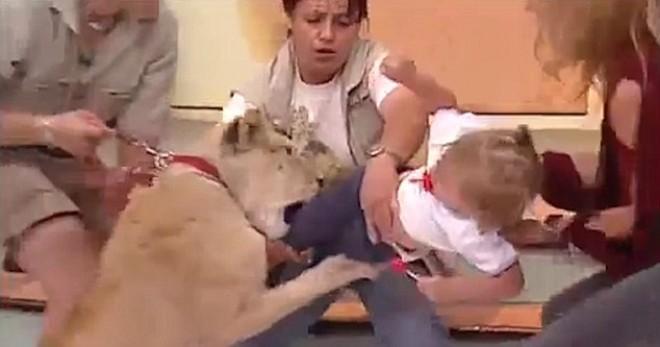 Élő TV showban támad egy kislányra a műsorban szereplő oroszlán! VIDEÓ