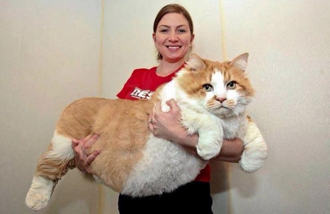 Láttál már ilyen gigantikus méretű macskákat?